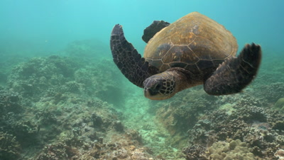 Green sea turtle cleaning station approach