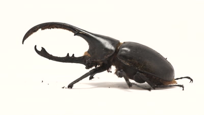 Hercules beetle from side, male, standing still moving antennae in light stage