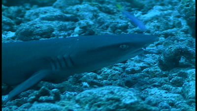 White Tip Reef Shark On Coral Floor