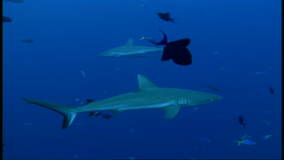 Grey Reef Shark Swims Toward Camera Then Left To Right Through Tropical Fish