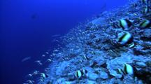 Schooling Fish - Moorish Idols Over Coral, White Tip Reef Sharks Swim Above