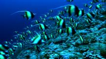 Schooling Fish - Moorish Idols Over Coral, Grey Reef Shark In Background