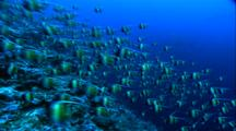 Schooling Fish - Moorish Idols, Camera Pans Right To Large School Grey Reef Sharks