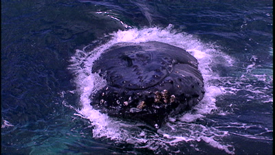 Humpback Whale Stock Footage