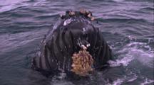 Humpback Whale Spy Hop, Blow, Person On Dive Platform Reaching Out