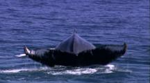 Humpback Whale Tail Away From Camera