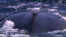 Humpback Whale Blow, Blow Hole, Dive, Tail Up
