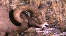 Land Mammals - Bighorn Ram Eating