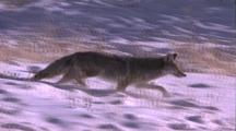 Land Mammals - Coyote Trotting In Snow