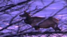 Land Mammals - Bull Elk Behing Bare Tree Branches