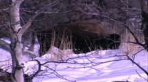 Land Mammals - Bison / Buffalo Grazing In Snow