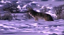 Land Mammals - Coyote Hunting For Movement Under The Snow