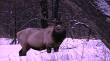 Land Mammals - Bull Elk Grazing In Snow
