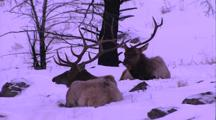 Land Mammals - 2 Bull Elk Bedded Down In Snow