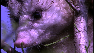opossum in tree