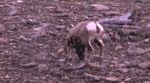 Land Mammals - Bighorn Ram Grazing, Light Snow Falling