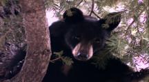 Land Mammals - Black Bear Cub In Tree