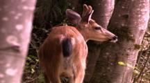Land Mammals - Buck With Horns In Velvet, Facing Away From Camera