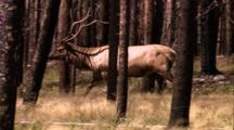 Land Mammals - Bull Elk Moves Right To Left, Burnt Pine Trees In Foreground