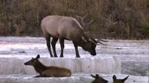 Land Mammals - Large Bull Elk Lays Down At Mammoth Terraces, Elk Calves In Foregroung, Mammoth Hot Springs Area