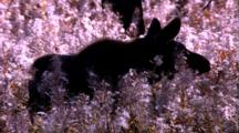 Land Mammals - Cow Moose Feeding On White Weedy Stalks (Fire Weed?)