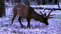 Land Mammals - Bull Elk In Velvet Grazing In Snow