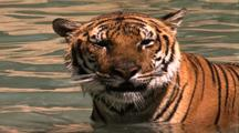 Land Mammals - Siberian Tiger In Water, Tongue Working In And Out