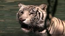 Land Mammals - White Tiger In Water