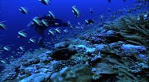 Schooling Fish - Morrish Idols Over Coral, Diver Films In Background