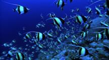 Schooling Fish - Moorish Idols Over Coral, Pan Left To Grey Reef Sharks Background