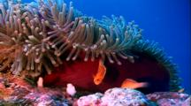 Tropical Fish & Reef - Anemone And Clown Fish Tending Eggs