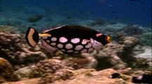 Tropical Fish & Reef - Clown Triggerfish
