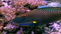 Tropical Fish & Reef - Parrot Fish