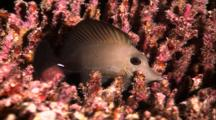 Tropical Fish & Reef - Surgeonfish (Sleeping) In Coral