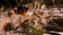 Tropical Fish & Reef - Anemone And Clown Fish