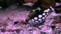Tropical Fish & Reef - Clown Triggerfish Eating Coral