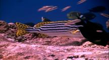 Tropical Fish & Reef - Oriental Sweetlips Hovering Over Coral