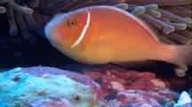 Tropical Fish & Reef - Anemone And Clown Fish (Anemonefish)