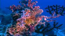 Coral - Hard Coral