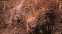 Coral - Hard Coral, Similar To Brain Coral