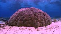 Coral Boulder