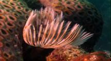Tropical Sea Life - Feather Duster Worm