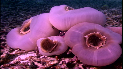 Tropical Sea Life - Pillow Anemone