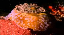 Tropical Sea Life - Umbrella Mollusk Moves Over Coral