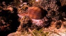 Tropical Sea Life - Cone Shell Snail