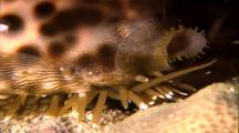 Tropical Sea Life - Cowrie Shell Crawls Over Coral, Close Up Feet