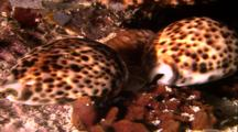 Tropical Sea Life - Cowries