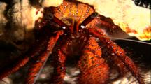 Tropical Sea Life - Hermit Crab, Close Up Eyes