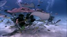 Divers Feeding Rays