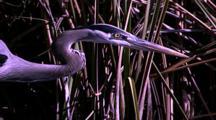 Great Blue Heron Profile, Hunting
